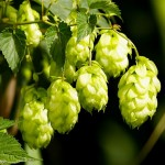 Hops by the Zentner