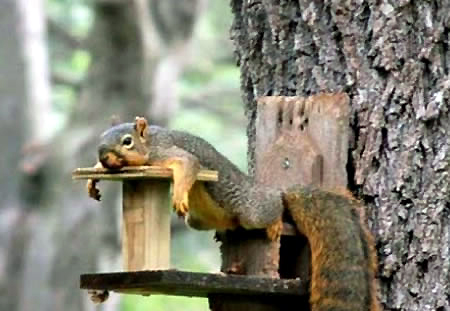 FUN WITH SQUIRRELS . . . by Joseph G. Evrard, Staff Kentuckian